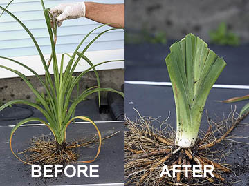 Properly Trimmer Daylily Fan for Transplanting